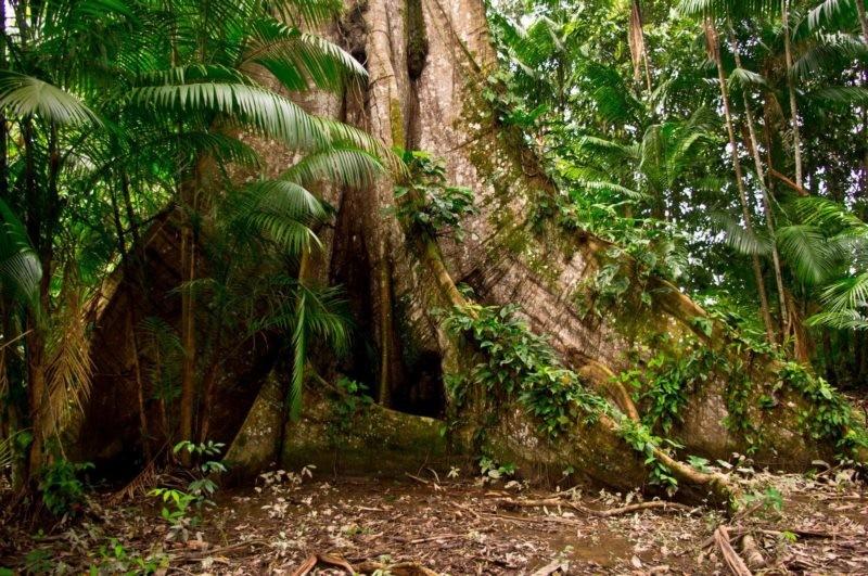 Rubirosa Tree