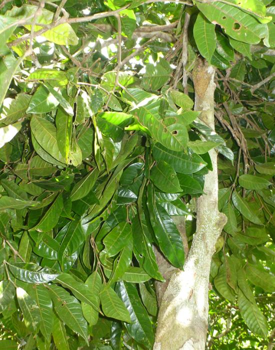Rubirosa Trees 1